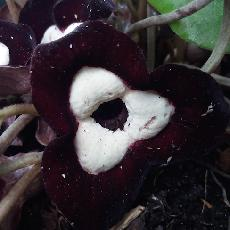 Asarum maximum  'Ling Ling'
