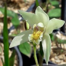 Bletilla striata  'Yellow'