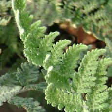 Cheilanthes lanosa